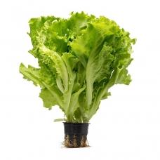 Салат листовий у горщику шт.